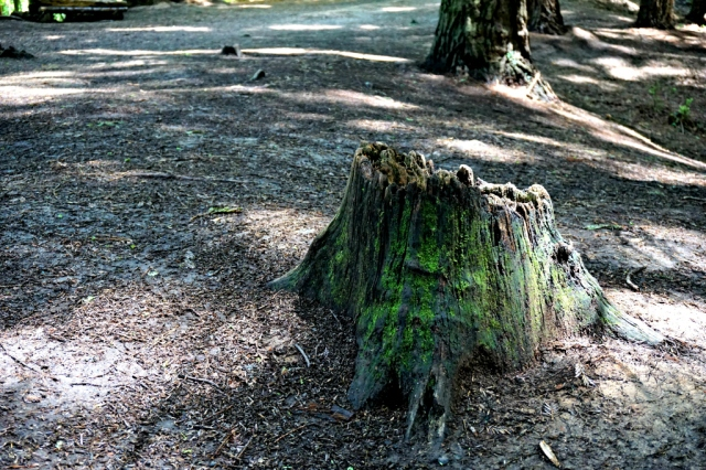 Sequoias_Cantabria_10