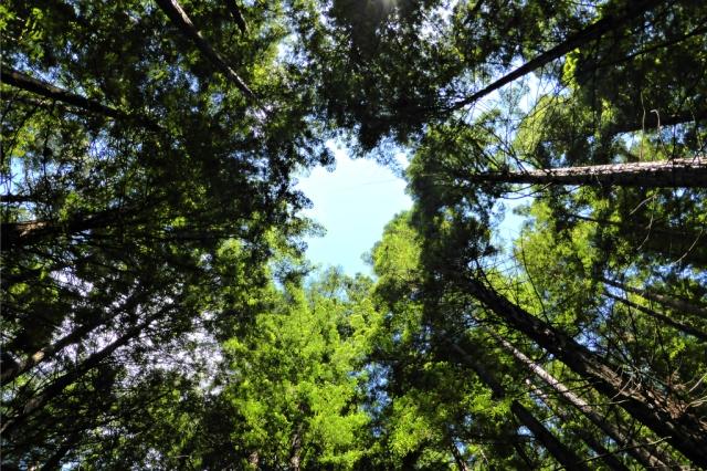 Sequoias_Cantabria_2