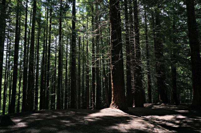 Sequoias_Cantabria_4
