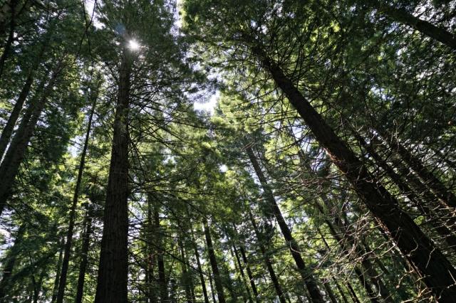 Sequoias_Cantabria_5