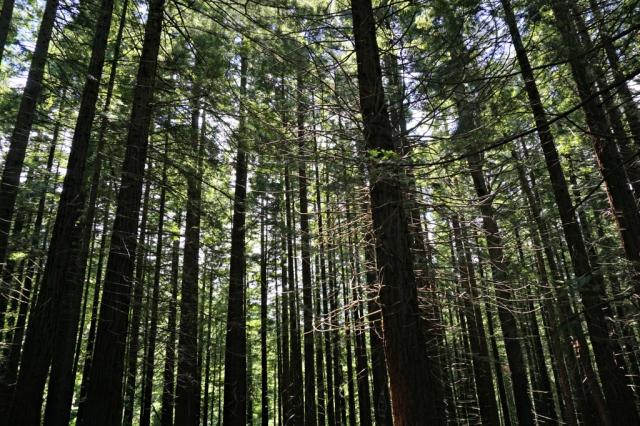 Sequoias_Cantabria_6