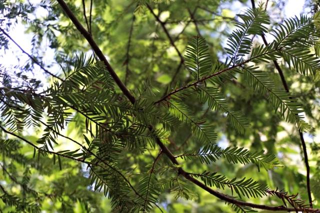 Sequoias_Cantabria_7