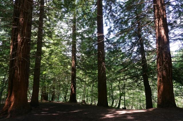 Sequoias_Cantabria_8