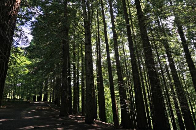 Sequoias_Cantabria_9
